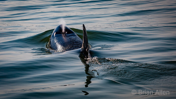 Orcas Foxes and Birds of the San Juans Islands