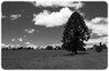 Bunya Pine on Farmland