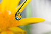 A Gazania flower magnified in a raindrop on the tip of a leaf