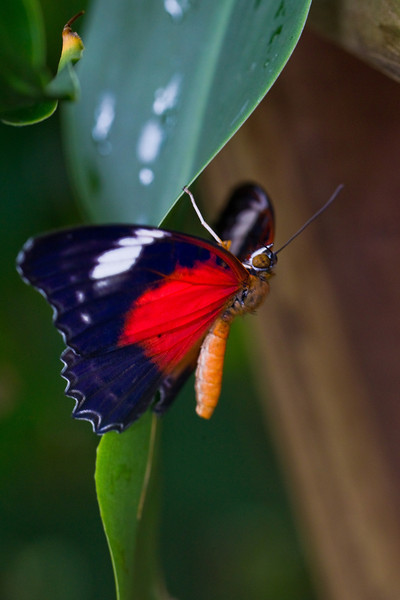 Butterfly: Red Lacewing (Cethosia cydippe)
