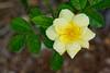 A Yellow rose at Mt Coot-Tha Botanic Gardens