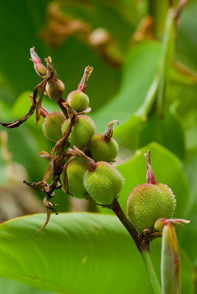 Canna indica Seed Pods