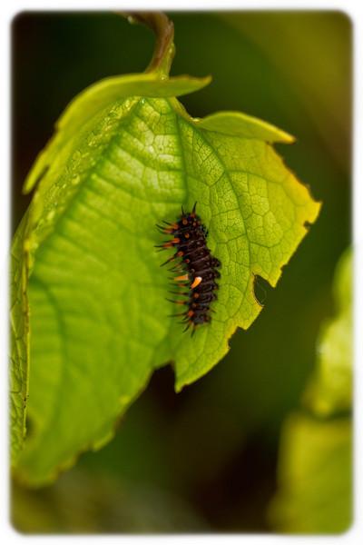 Spiky Caterpillar