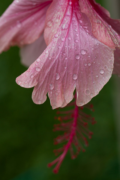 Pink Hibiscus After the Rain