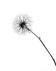 Macro Study of a Dandelion: Backlit (Monochrome)