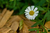 Seaside Daisy (Erigeron)