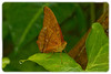 Butterfly: Cedar Bush Brown (Mycalesis sinius)