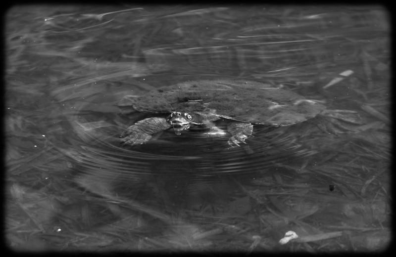 Furry Turtle