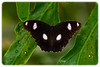 Butterfly: Varied Eggfly (Hypolimnas bolina) - Male