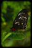 Buttrfly: Cairns Birdwing (Ornithoptera priamus)