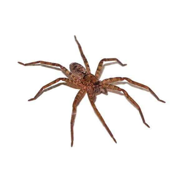 Brown Hunstman Spider (Heteropoda venatoria)