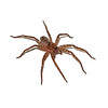 Brown Hunstman Spider (Heteropoda venatoria)