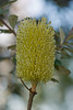 Pale Yellow Banksia Flower