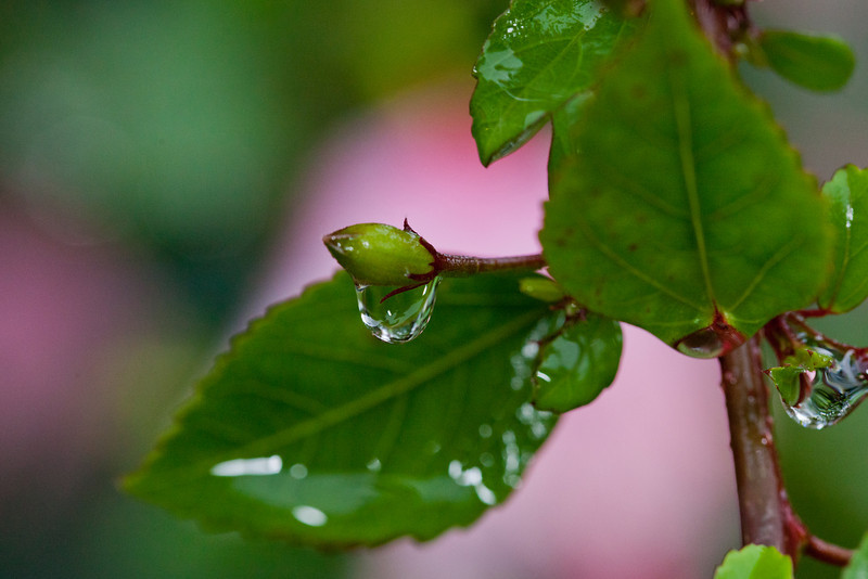 Raindrop on a Hibiscus Bud