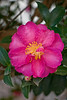 Bright Pink Camelia Japonica