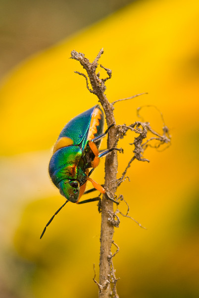 Green Jewel Bug (Lampromicra senator)