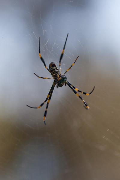 Female Golden Orb Weaver Spider (Nephila plumipes)