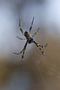 Female Golden Orb Weaver Spider (Nephila plumipes)
