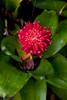 Red Guzmania Bromeliad Flower