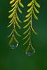 Raindrops on Poinciana Leaves