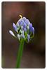 Blooming Purple Agapanthus Flower (Agapanthus africanus)