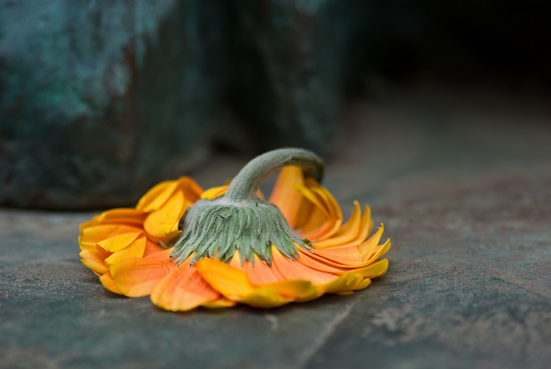 A gerbera lying on the ground