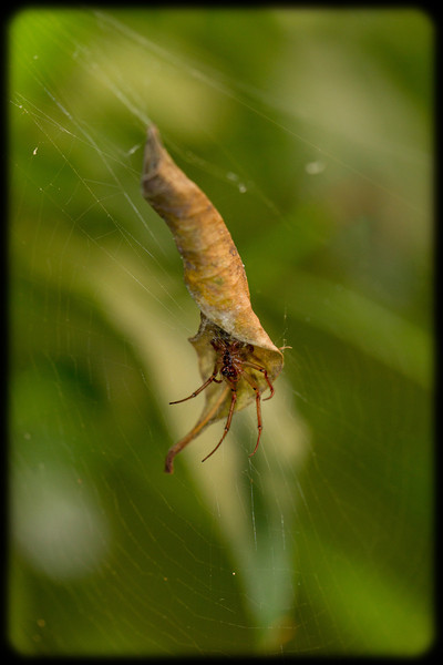 Spider in a Leaf