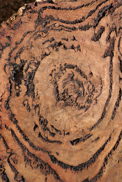 Wood Texture: Burl