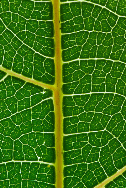 Macro Backlit Leaf