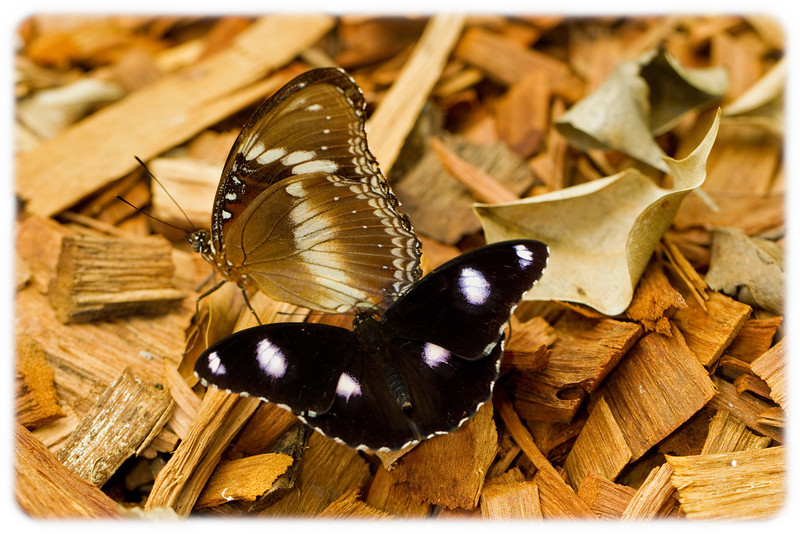 Butterfly: Varied Eggfly (Hypolimnas bolina) - Mating