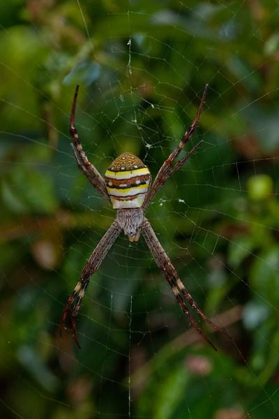 St Andrew's Cross Spider (Argiope keyserlingii)