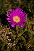 Native Pig Face (Carpobrotus Rossii)