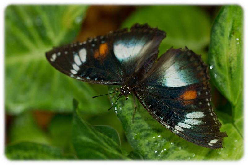 Butterfly: Varied Eggfly (Hypolimnas bolina) - Female