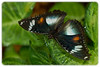 Butterfly: Varied Eggfly (Hypolimnas bolina) - Female