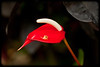 Red Spathiphyllum