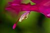 Pink Zygocactus (Schlumbergera truncata) Stamens and Pistil