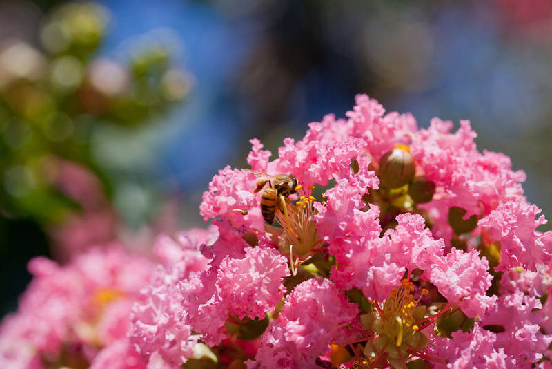Bee, Blossoms and Bokeh