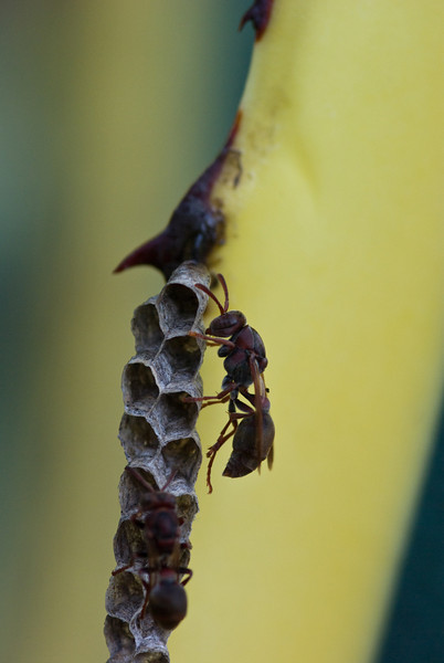 Paper Wasps and Nest on a Variegated Agave