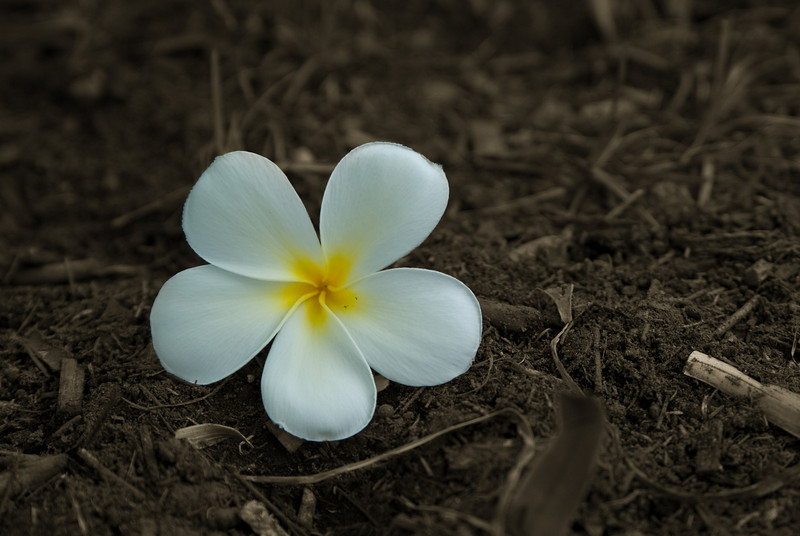 White and Yellow Frangipani Flower with Sepia Background