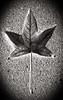 Röntgen's Leaf I