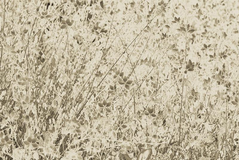 Gaura Sepia Flower texture