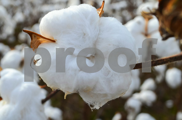 DianaBusby_kingcotton_agriculture_05