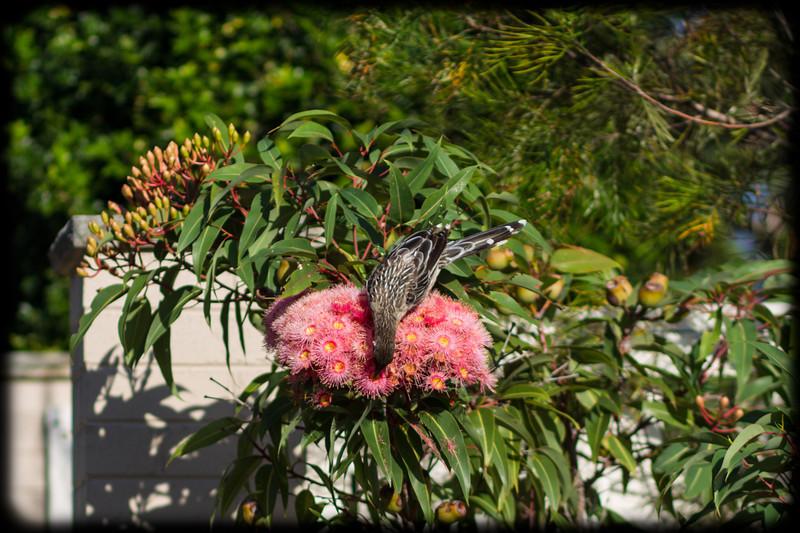 Red Wattlebird (Anthochaera carunculata) on Pink Gum Flowers