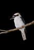 Laughing Kookaburra on a Branch