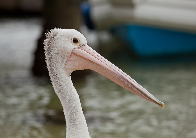 Pelican in the Middle Harbour