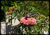 Red Wattlebird (Anthochaera carunculata) on Pink Gum Flowers