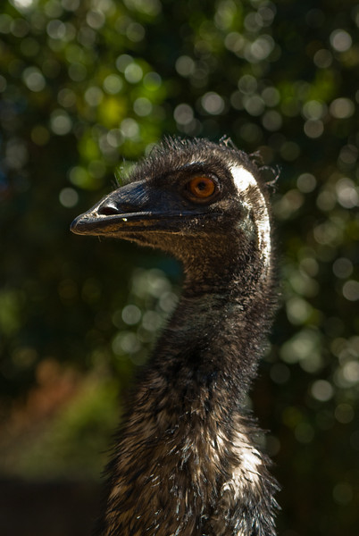 Emu at Taronga Zoo