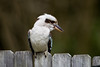 Laughing Kookaburra (Dacelo novaeguineae) in a Sydney Yard