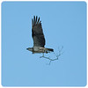 Osprey Collecting Nest Material (Pandion haliaetus)