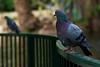 Pigeon on a Rail